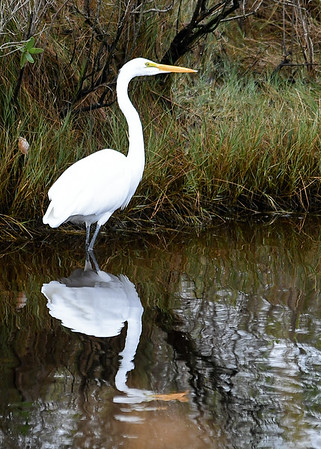 """<div class=""""jaDesc""""> <h4>Great Egret with Reflection - November 13, 2018</h4> <p>This gal was hunting along the creek edge.  Light was just right for a nice reflection.  Chincoteague Wildlife Preserve, VA.</p> </div>"""