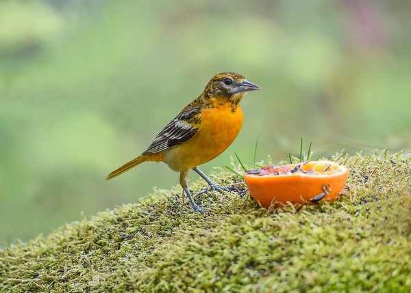 """<div class=""""jaDesc""""> <h4>Adult Female Baltimore Oriole - May 2, 2017</h4> <p>This female Baltimore Oriole is the boss.  The adult male and immature male both deferred to her.</p> </div>"""