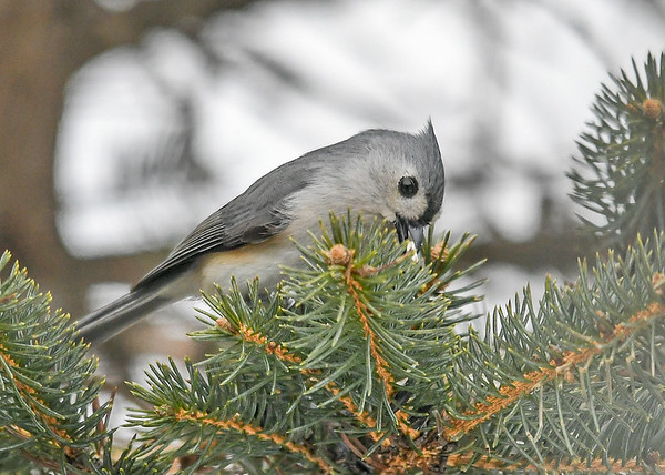 """<div class=""""jaDesc""""> <h4>Tufted Titmouse Finds Peanut - February 17, 2019 </h4> <p>He reached down deep into the needles to pick out a peanut.</p></div>"""
