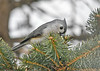 "<div class=""jaDesc""> <h4>Tufted Titmouse Finds Peanut - February 17, 2019 </h4> <p>He reached down deep into the needles to pick out a peanut.</p></div>"