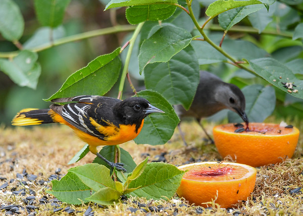 """<div class=""""jaDesc""""> <h4>Male Baltimore Oriole Dining with Catbird - June 20, 2018</h4> <p>He is very polite about sharing with the Catbirds.</p> </div>"""