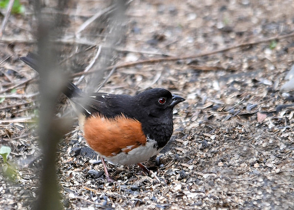 """<div class=""""jaDesc""""> <h4>Male Towhee Looking Around - April 30, 2017</h4> <p>Towhees like to dine in private, so they will dart out to grab a seed, then dart back under a dense bush to eat it.  Takes quite a bit of patience to get photos of them.</p></div>"""