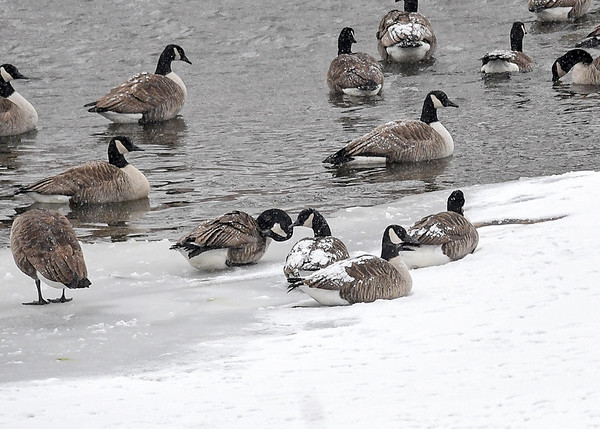"""<div class=""""jaDesc""""> <h4>Canada Geese Relaxing - December 30, 2017 </h4> <p>The Geese with the most snow on their backs had been resting the longest.  Susquehanna River, Nichols, NY</p> </div>"""