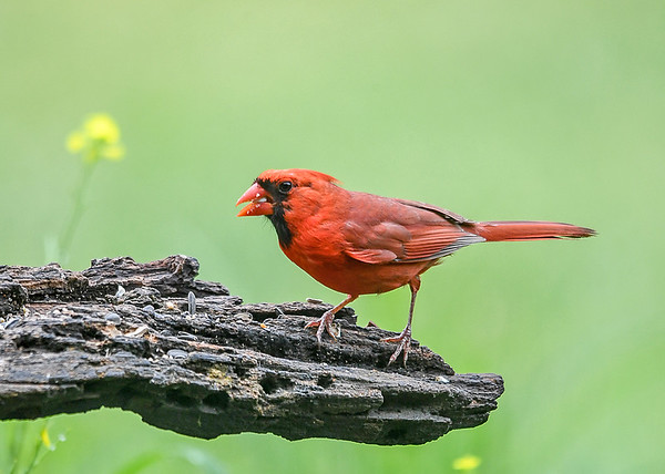 """<div class=""""jaDesc""""> <h4>Male Cardinal at Feeder Log - July 17, 2018</h4> <p>He has a Safflower seed in his beak, his favorite. </p> </div>"""