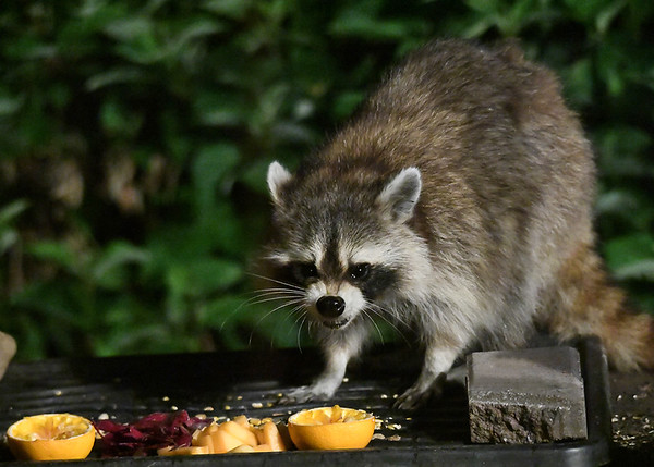 """<div class=""""jaDesc""""> <h4>Raccoon Eating Bird Seed - July 11, 2017</h4> <p>This looks like the Raccoon is growling, but she is actually just chewing on birdseed.</p> </div>"""