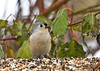 """<div class=""""jaDesc""""> <h4>Tufted Titmouse Returns - November 27, 2016 </h4> <p>Our Tufted Titmouse pair disappears during nesting season and doesn't return till late fall.  This Tufted Titmouse has an unusually golden breast and darker golden brown sides; possibly an immature bird.</p></div>"""