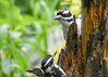 "<div class=""jaDesc""> <h4>Peek-a-Boo I See You Mom - June 15, 2017</h4> <p>Mom would circle the suet log looking for suet chunks and her son would follow.</p></div>"