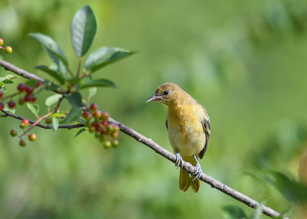 """<div class=""""jaDesc""""> <h4>Juvenile Female Baltimore Oriole in Cherry Tree - July 10, 2017</h4> <p>She is waiting her turn at the grape jelly and oranges.  She can now eat without help from dad.</p> </div>"""