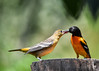 """<div class=""""jaDesc""""> <h4>Juvenile Female Oriole Grabs Jelly - July 5, 2017</h4> <p>This whole sequence happened in about 2 seconds.</p> </div>"""