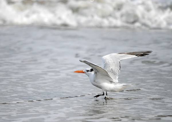"""<div class=""""jaDesc""""> <h4>Immature Royal Tern Landing - November 8, 2018 </h4> <p>They would always take a few steps in the receding surf as they touch down.</p> </div>"""
