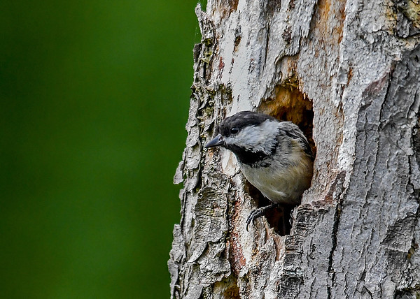 """<div class=""""jaDesc""""> <h4>Chickadee Waiting for Other Adult - June 3, 2018 </h4> <p>The adult at the nest hole would wait till the other returned before leaving to get food.</p> </div>"""