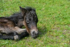 "<div class=""jaDesc""> <h4>Tiger Resting - May 28, 2017</h4> <p>The foal's full name is Eye of the Tiger; his nickname is Tiger.  He spent equal amounts of time lying down as he did standing.</p> </div>"