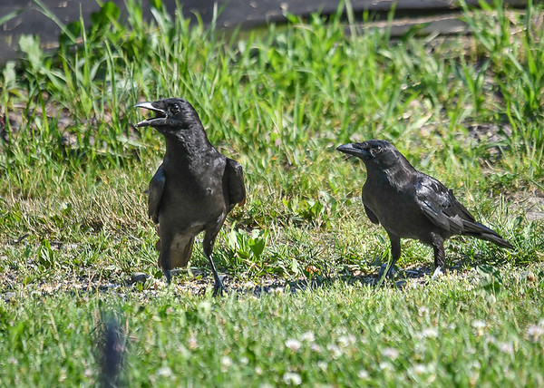 """<div class=""""jaDesc""""> <h4>Juvenile Crows Cleaning Up Seed - July 2, 2018</h4> <p>The juvenile Crow call sounds more like a Duck than a Crow.  They seemed to be quite comfortable dining on their own.</p>  </div>"""