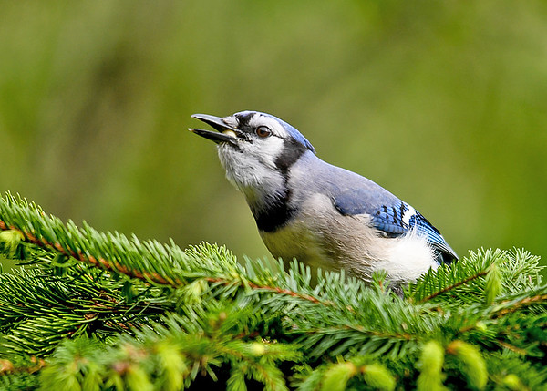 """<div class=""""jaDesc""""> <h4>Blue Jay Finds Peanuts - May 23, 2017</h4> <p>I toss shelled peanuts into a pile of evergreen boughs every morning.  The birds like digging through the boughs to find them.</p> </div>"""