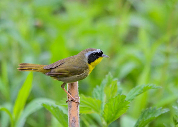 """<div class=""""jaDesc""""> <h4>Male Common Yellowthroat on Stalk - May 8, 2017</h4> <p>This guy flew from a thicket and landed on a thick stalk right in front of me.</p> </div>"""