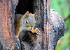 "<div class=""jaDesc""> <h4>Red Squirrel Guarding Hole - May 16, 2018</h4> <p>I toss shelled peanuts into this tree trunk hole every morning.  This Red Squirrel's posture says they are all his now.</p>  </div>"