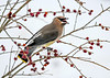 "<div class=""jaDesc""> <h4> Cedar Waxwing Ready to Swallow Winterberry - January 16, 2018</h4> <p>This bird had a bush all to herself.</p> </div>"