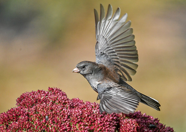 """<div class=""""jaDesc""""> <h4>Junco Take-off - Oct 21, 2018</h4> <p>I got lucky and snapped at just the right time.</p> </div>"""