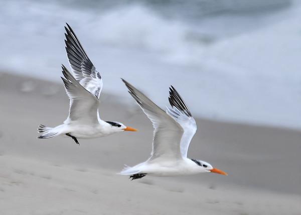 "<div class=""jaDesc""> <h4>Immature Royal Terns Headed Along the Surf - October 23, 2017 </h4> <p></p> </div>"