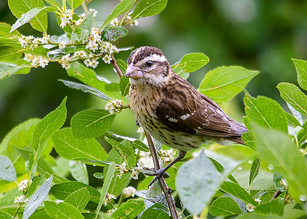 """<div class=""""jaDesc""""> <h4>Female Rose-Breasted Grosbeak in Blooming Cherry Tree - June 27 2018</h4> <p>It was a rainy morning, but that did not slow the birds down from visiting the feeding areas.</p> </div>"""