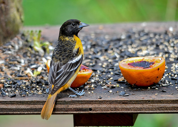 """<div class=""""jaDesc""""> <h4>Immature Male Baltimore Oriole - May 2, 2017</h4> <p>This 1st year male Baltimore Oriole still has a yellow breast like the female.  It will get dark orange during the summer and fall, and his light black will transition to dark solid black.</p> </div>"""