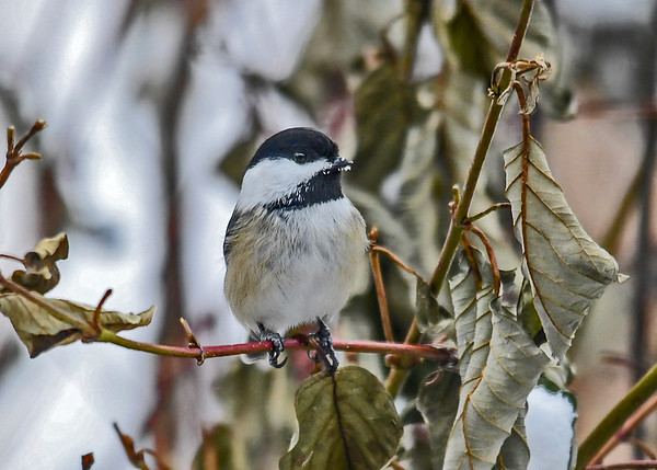 """<div class=""""jaDesc""""> <h4>Chickadee in Red-twig Dogwood - January 1, 2018 </h4> <p>Chickadee landed in Red-twig Dogwood bush after grabbing sunflower seed; looking very proud of himself.</p> </div>"""