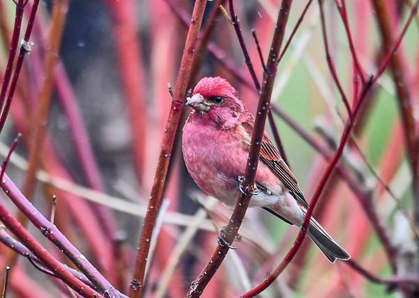 """<div class=""""jaDesc""""> <h4>Male Purple Finch in Breeding Plumage - May 2, 2018</h4> <p>This male Purple Finch is as bright as they get.  He blends in so well in our red-twig dogwood bush.</p></div>"""