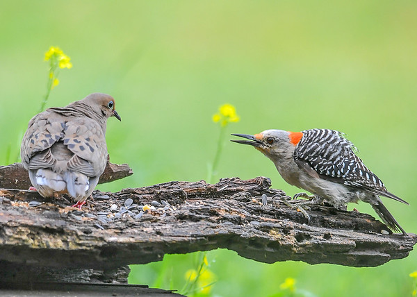 """<div class=""""jaDesc""""> <h4>Juvenile Red-bellied Woodpecker vs Dove - July 17, 2018</h4> <p>When a Dove landed on """"her"""" log, she was not pleased and encouraged the Dove to leave.</p> </div>"""