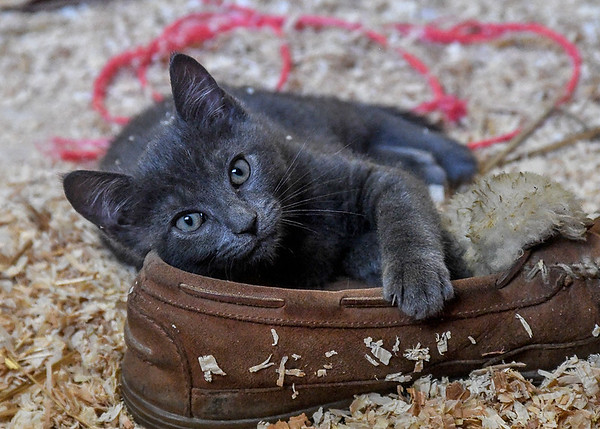 """<div class=""""jaDesc""""> <h4> Dagger - September 9, 2017 </h4> <p>Dagger is Scarlett's brother, also a Russian Blue kitten.  He kept clawing my foot as he was wrestling with the fleece on my moccasin, so I took it off for him to play with. </p> </div>"""