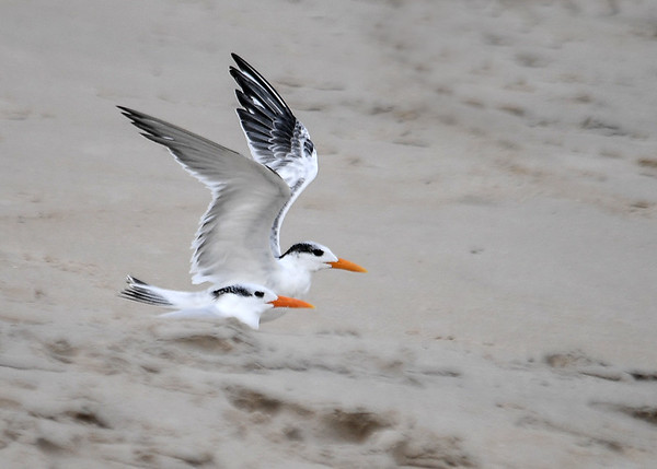 """<div class=""""jaDesc""""> <h4>Immature Royal Terns Ready for Take-off - October 23, 2017 </h4> <p>There was a lady with her dog approaching these two Royal Terns, so they were getting ready to take-off. Chincoteague National Wildlife Preserve</p> </div>"""