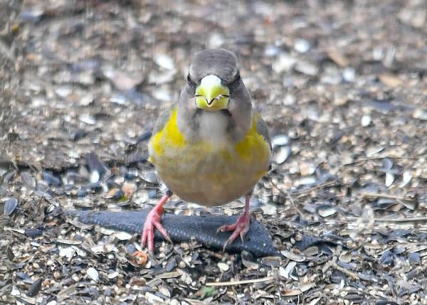 "<div class=""jaDesc""> <h4>Female Evening Grosbeak Looking at Me - March 17, 2019</h4> <p></p> </div>"