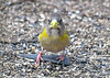 "<div class=""jaDesc""> <h4>Female Evening Grosbeak Looking at Me - March 17, 2019</h4> <p></p> </div>"