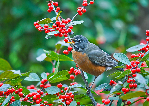 """<div class=""""jaDesc""""> <h4>Robin with Winterberry - October 22, 2018</h4> <p>Over a 20 minute period, they came to the bush 6 times, each time plucking a berry and flying off with it.</p> </div>"""