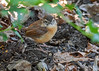 "<div class=""jaDesc""> <h4> Adult Carolina Wren Ground Feeding - September 9, 2017 </h4> <p> A second adult Carolina Wren was ground feeding under the holly bush.</p> </div>"