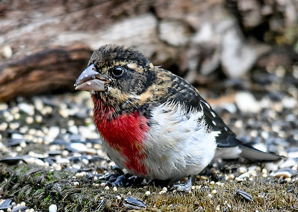 "<div class=""jaDesc""> <h4>Juvenile Male Rose-Breasted Grosbeak - August 24 2018</h4> <p>This is the only visit we had by this year's Rose-breasted Grosbeak youngsters.  It was a drizzly morning, so he is a bit damp as he snacks on sunflower seed.</p> </div>"