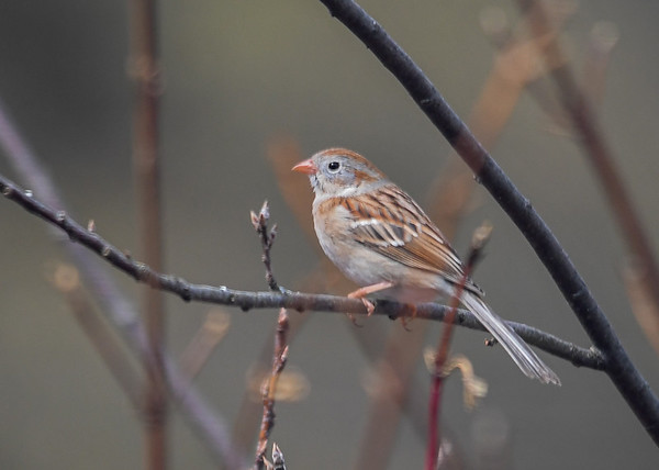 """<div class=""""jaDesc""""> <h4> Field Sparrow on Branch - April 11, 2018</h4> <p>This little Field Sparrow was patiently waiting for the Blue Jays to leave the feeder area so he could have a turn.</p> </div>"""