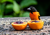"<div class=""jaDesc""> <h4>Baltimore Oriole - Hmm Which One First? - July 10, 2017</h4> <p>Dad Baltimore Oriole gets first dibs at the grape jelly and orange halves.  The adult Orioles left about the 3rd week of July after they were sure the juveniles could fend for themselves.</p> </div>"