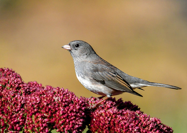 """<div class=""""jaDesc""""> <h4>Junco on Sedum #2 - Oct 21, 2018</h4> <p>This second bird has much the same coloring as the first.</p> </div>"""