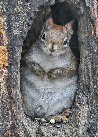 """<div class=""""jaDesc""""> <h4>Red Squirrel Taking Break from Eating - January 7, 2019</h4> <p></p>  </div>"""
