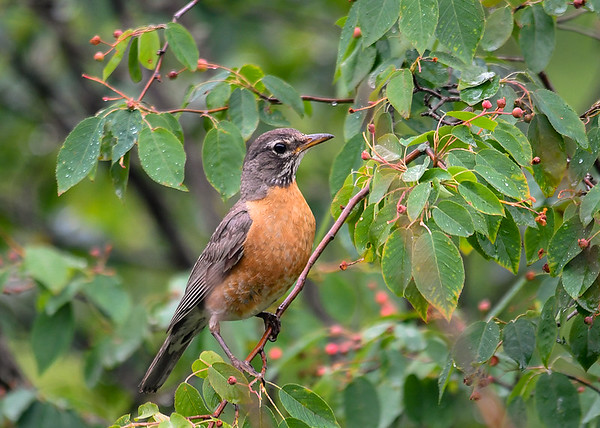"""<div class=""""jaDesc""""> <h4>Robin in Serviceberry Tree - June 27, 2018</h4> <p>Robins love serviceberries.  This Robin is looking to see which ones are the ripest.</p> </div>"""