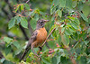 "<div class=""jaDesc""> <h4>Robin in Serviceberry Tree - June 27, 2018</h4> <p>Robins love serviceberries.  This Robin is looking to see which ones are the ripest.</p> </div>"