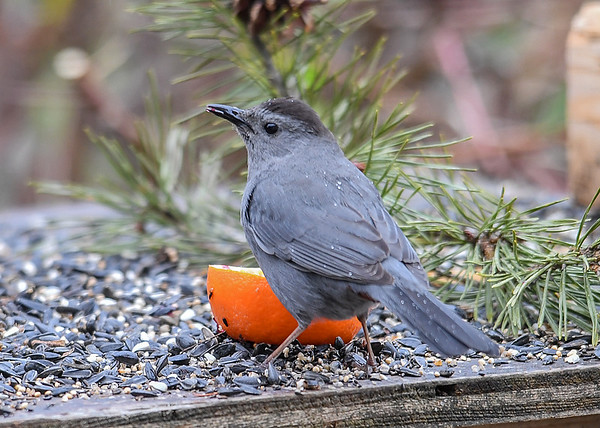 """<div class=""""jaDesc""""> <h4>Male Catbird Enjoying Grape Jelly - May 6, 2018</h4> <p>The male Catbird (barely visible red under tail) preferred to dine at the orange with grape jelly.  They love the jelly.</p> </div>"""
