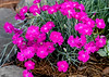 "<div class=""jaDesc""> <h4>Dianthus - June 15, 2018</h4> <p></p> </div>"