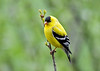 "<div class=""jaDesc""> <h4>Male Goldfinch on Budding Winterberry Branch  - May 12, 2018</h4> <p></p></div>"