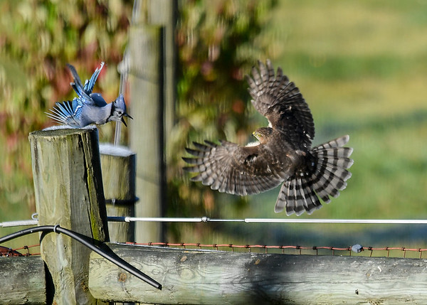 """<div class=""""jaDesc""""> <h4>Juvenile Sharp-shinned Hawk Veers Back at Blue Jay - October 17, 2017</h4> <p>The juvenile Sharp-shinned Hawk quickly veered back at the Blue Jay, but was still not quick enough.</p> </div>"""
