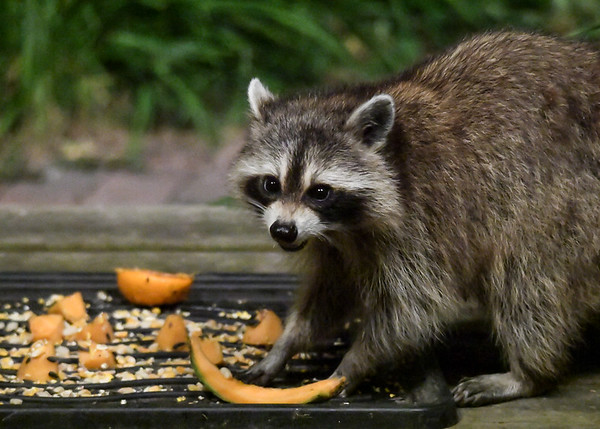 """<div class=""""jaDesc""""> <h4>Raccoon Owns Food Tray - July 10, 2017</h4> <p>This Raccoon is enjoying the late evening food tray all to herself.</p> </div>"""