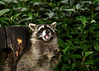"<div class=""jaDesc""> <h4>Young Raccoon Swallowed Apple Chunk - September 16, 2017</h4> <p>He swallowed the first piece and was ready for another.</p> </div>"