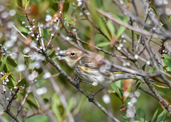 """<div class=""""jaDesc""""> <h4> Yellow-rumped Warbler Trying to Hide - November 8, 2018</h4> <p> There were also hundreds of Yellow-rumped Warblers in winter plumage at the Assateague State Park, VA.  They were feeding on Bayberries there as well.</p> </div>"""