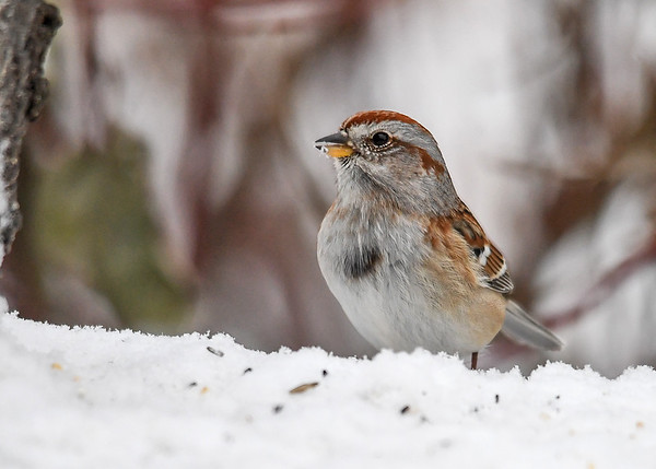 """<div class=""""jaDesc""""> <h4>Tree Sparrow Looking for Seed - January 16, 2018</h4> <p>There are lots of seeds buried in the fresh snow.  This Tree Sparrow is ready for breakfast.  Notice the very different color between the upper and lower bill.</p> </div>"""