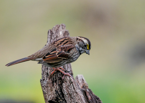 """<div class=""""jaDesc""""> <h4>Immature White-throated Sparrow - October 23, 2018 </h4> <p>Two of the six White-throated Sparrows are immature birds.  Their white and yellow markings are not as bright as the adults.</p></div>"""